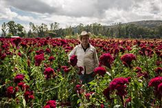 En Tarímbaro, Michoacán, se encuentran los cultivos de cempasúchil que surte la mayor parte de los pueblos de la ribera del lago de Pátzcuaro y ciudades como Morelia y Uruapán. Aquí Miguel Bárcenas en el campo de mano de león. TEXTO Y FOTO Jesús Cornejo