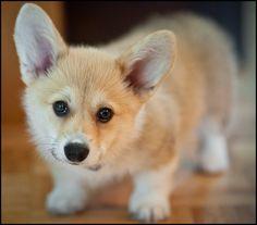 Corgi pup!! **Monster in training**
