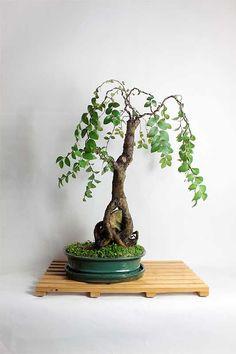Chinese Elm Mature Bonsai Tree by LiveBonsaiTree by LiveBonsaiTree