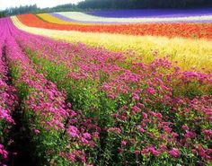 Rainbow field of flowers! Rainbow Flowers, Flowers Nature, Google Images, Mother Nature, Places To Travel, Fields, Country Roads, World, Amazing