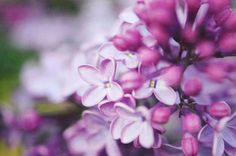 12 Facts Every Lilac Lover Should Know  - HouseBeautiful.com
