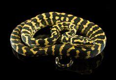 Jungle carpet python produced by Andrew Paris. #carpetpython #junglecarpetpython