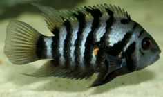 convict cichlid is a great addition to anyones tank, although it is still very territorial.