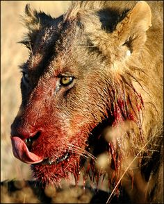 Me after eating spaghetti Big Cats, Cute Cats, Lion Anatomy, Tanzania National Parks, Baby Animals, Cute Animals, Lions Photos, Macho Alfa, Scary Art