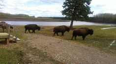 People in Nahanni Butte, N., are calling once again for a tougher approach to deal with the bison that invade their community every year, causing damage to property and making people afraid to leave their homes. Cctv Camera Installation, Canada North, Bison, Going Out, To Go, Lawns, Yard, Community, Homes