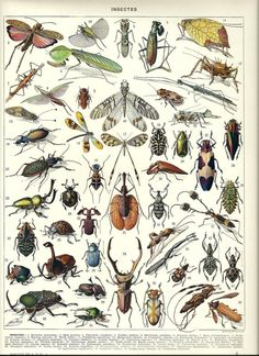 "INSECT - Vintage French Dictionary Color Illustration - 1930 9"" x 12"""