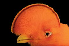 Guianan cock of the rock (Rupicola rupicola) at the Dallas World Aquarium.
