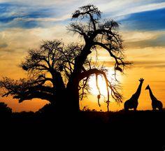 Pôr-do-sol espetacular com Baobá (Adansonia grandidieri) e girafas na savana africana.  Fotografia: SW_Stock / via Shutterstock.  http://amongraf.ro/check-out-the-most-majestically-trees-in-the-world/13/