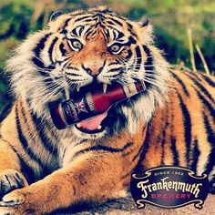 World Series-bound Detroit Tigers celebrate victory with Michigan's Original Craft Beer from Frankenmuth Brewery! 'LIKE' if you think they will go all the way!