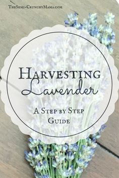 A step by step tutorial for harvesting lavender and its many uses. Learn how to harvest and dry lavender.
