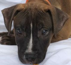 Frances is an adoptable Pit Bull Terrier Dog in Baton Rouge, LA.  She is a sweet little pup waiting for her forever home at CAA. Come meet this playful little girl. The shelter is open from 12-6 Tu...