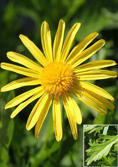 Euryops chrysanthemoides - African Bush Daisy