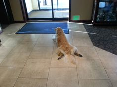 This is Penny. She lives in the hotel. This is how she waits in the lobby to greet the guests. - Imgur