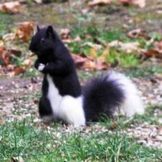 Piebald Squirrel. What a little beauty. A friend of Sugar Bush Squirrel? Annabelle will have to ask...