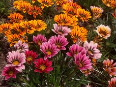 gazania (grouped together)