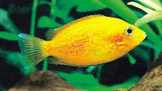 *Very Hardy*  One of my favorites.  Orange Chromide (Etroplus maculatus) - Another peaceful cichlid, I think these guys are gorgeous.  They come in different shades of yellow, red, and orange.  Mine is more yellow.  He also gets along with my other cichlid, a Ram.