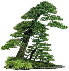 bonsaitoday: Ezo Spruce Picea Glehnii, Bonsai Today #28, Cover