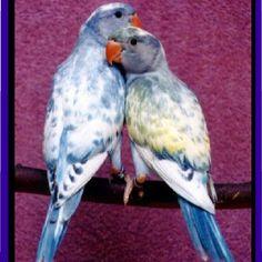 Pied blue Indian ringneck parakeet
