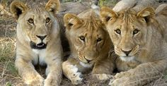 Lion cubs, Ongava Private Reserve, Namibia