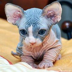 I want a Sphynx kitty sooooooo bad! Kittens Cutest, Cats And Kittens, Cute Cats, Siamese Cats, Beautiful Cats, Animals Beautiful, Cute Hairless Cat, Hairless Animals, Cute Baby Animals
