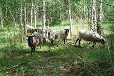 The original Finnish breed - Kainuunharmas / Kainuu Grey, (Hiekkarannan tila, Saarijärvi, Karstula) - Kainuunharmas on lampaan suomalainen alkuperäisrotu. Kainuunharmaalla on useimmiten mustat jalat ja pää.