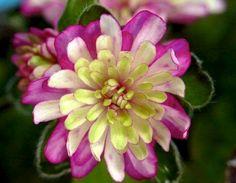 Hepatica japonica Harumonogatari