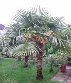 Extrem Frostharte Trachycarpus Naini Tal Fächerpalme ca. 100cm Frosthart bis -19 Grad: Amazon.de: Garten