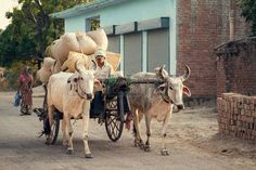 Indian Bullock Cart Or Ox Cart Run By Man In Village Stock Photo, Picture And Royalty Free Image. Cow Photos, Cow Pictures, Bullock Cart, Horse Cart, Organic Baby, Organic Cotton, Baby Cats, Royalty Free Images, Watercolor Art