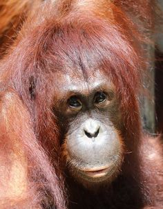 Orangutan SSP Page Liked · 11 hrs ·   Our second birthday celebrant is safe and sound after a weekend of hurricane hunkering down. Bornean female Hadiah at Tampa's Lowry Park Zoo is turning 12 today and we bet even through clean up there will be time for a little celebration. Happy Birthday Hadiah!  Photo - Max Block