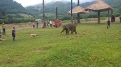 The dog keeps barking at the elephant as if encourage it to join in the chasing game