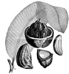 Brazil Nut - Project Gutenberg eBook 11662 - Brazil nut - Wikipedia