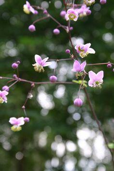 Keijuängelmän (Thalictrum rochebrueanum) vaaleanvioletit kukat avautuvat parimetristen varsien päähän. Perenna viihtyy puolivarjossa, kosteutta hyvin pidättävässä maassa. Photo Heidi Haapalahti viherpiha.fi