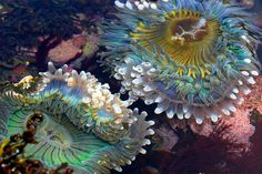 anemones seen here using specialized body growths called acrorhagi to attack each other during an argument over cloning rights in the intertidal zone.  Anthopluera xanthogrammica San Mateo county CA, Aug. 2015 / T3i / waterbody
