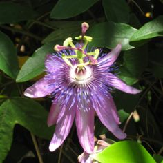 "In the South, this is not a ""passion flower"".  It's a may pop and it's a weed."
