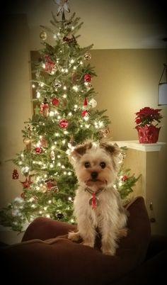 Morkie Christmas 2014 Pup named Jack