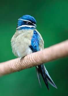 The Whiskered Treeswift is found in Brunei, Indonesia, Malaysia, Myanmar, the Philippines, Singapore, and Thailand. Its natural habitats are subtropical or tropical moist lowland forests, subtropical or tropical mangrove forests, and subtropical or tropical moist montane forests.