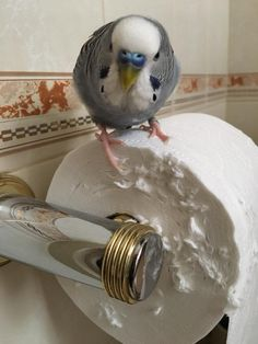 [I know the face, I know the toilet paper roll] Budgie Parakeet, Budgies, Cockatiel, Funny Birds, Cute Birds, All Birds, Little Birds, Animals And Pets, Cute Animals