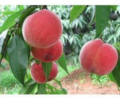 Heirloom Orangic 8 Seeds Peaches Peach Seeds Pink Flower Sweet Peach Fruit Tree