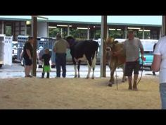 Judging Of Steer & Oxen ( Part-1 )       This video has two rounds of judging.First group is of Holstein and the other of mixed Brown Swiss,Devon,and Lineback.