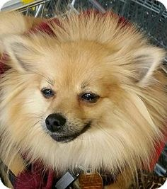 Westwood, NJ - Pomeranian. Meet Molly, a dog for adoption. http://www.adoptapet.com/pet/13059639-westwood-new-jersey-pomeranian