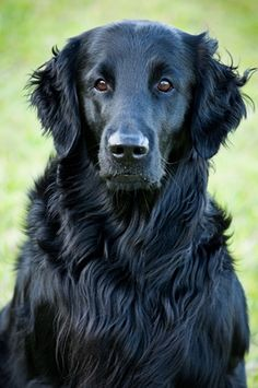 Flat coated retriever --our dog Hoodoo is a mix, but she totally looks exactly like this dog!