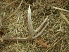How to find deer antler sheds