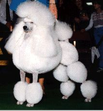 White Standard poodle with the side saddle groom clip for show plus history of the poodle