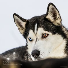 Husky with blue and red eye by schuetzfritz. @go4fotos