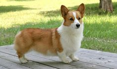 "Welsh Corgi - ""the enchanted dog of the fay"" - legend says that fairies & elves used them to pull their carts & even as steeds for warriors ~j"