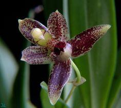 Orchid: Kefersteinia jarae