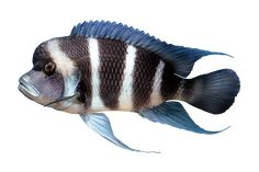 """There are hundreds of cichlid species that are native to Africa, however, the term """"African Cichlids"""" is typically used to describe cichlid fish found in Lakes Tanganyika, Malawi and Victoria, in East Africa's Great Rift Valley. Cichlid Aquarium, Cichlid Fish, Aquarium Fish, Fish Aquariums, Colorful Fish, Tropical Fish, Lake Tanganyika, Marine Fish, African Cichlids"""