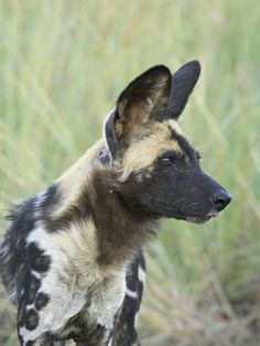 African Wild Dog (Lycaon Pictus), Pilanesberg National Park, South Africa, Africa Photographic Print