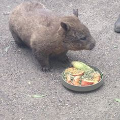 This is Heather the suthern hairy nosed wombat. I got to see her in Janurary at the Currumbin Wildlife Sanctuary. Sadly all species of wambats are endagered to some extent due to overgrazing and the Sarcopties Scabie.  #savethewombat #endagered #donate #wombats #wombat #thewombatfoundation #currumbinwildlifesanctuary by sash2802 http://ift.tt/1X9mXhV