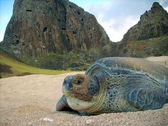 Sea turtle on the beach at Fernando de Noronha island, Brazil